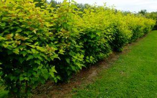 Как вырастить живую изгородь из пузыреплодника