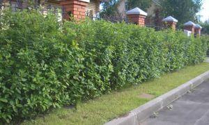 Правила посадки и ухода за живой изгородью из дерена