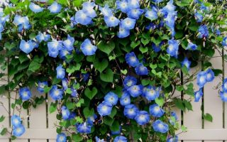 Лучшие вьющиеся растения для забора