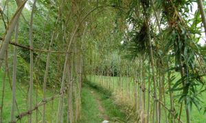 Создание живой изгороди из ивы