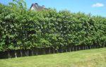 Особенности посадки и ухода за живой изгородью из боярышника