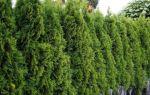Выращиваем живую изгородь из можжевельника